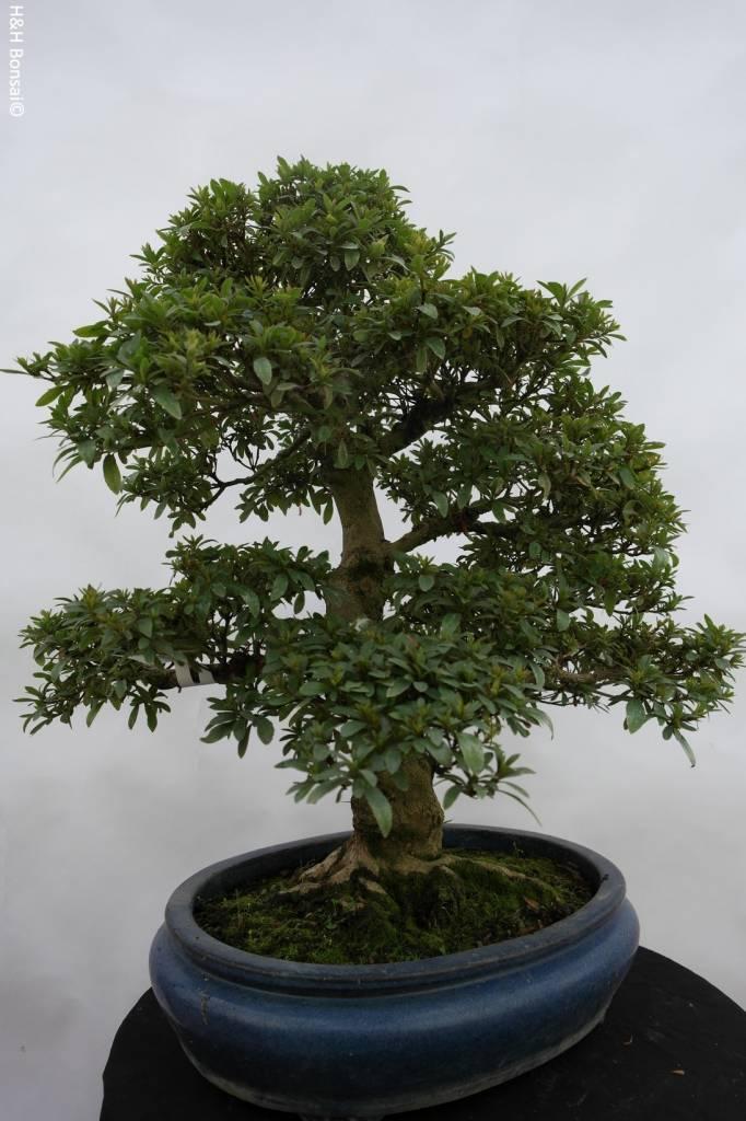 Bonsai Azalée du Japon, Azalea Satsuki, no. 5867