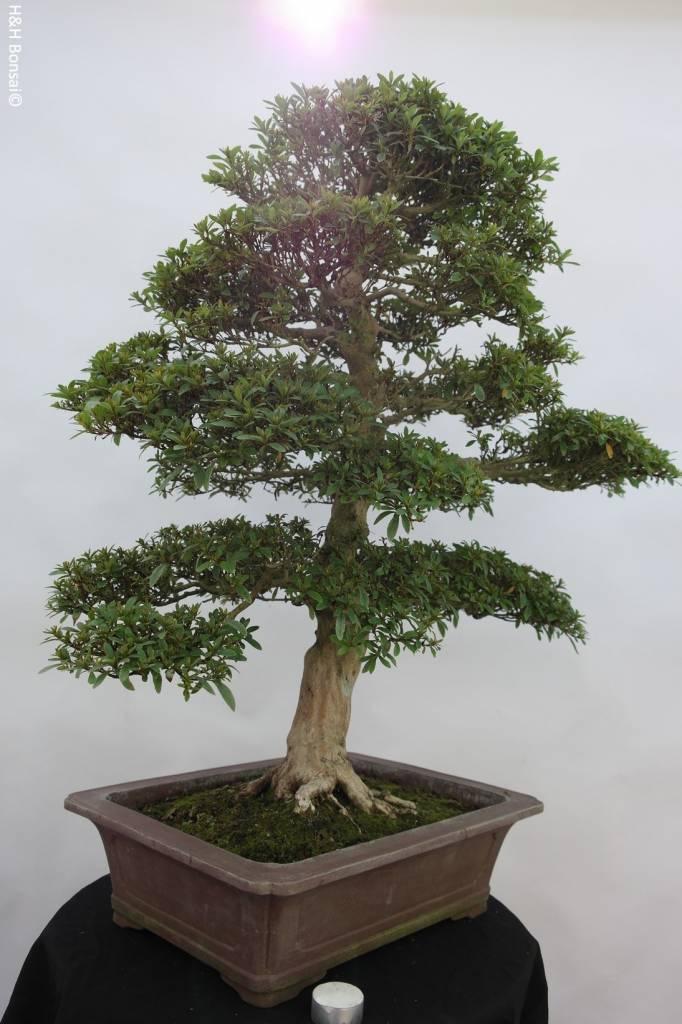 Bonsai Azalea SatsukiSaiko, no. 5698
