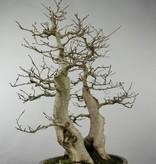 Bonsai Korean Hornbeam, Carpinus coreana, no. 5137