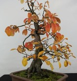 Bonsai Quince, Cydonia oblonga, no. 5570