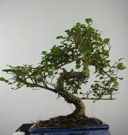 Bonsai Privet, Ligustrum nitida, no. 6550