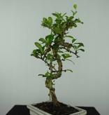 Bonsai Fukien Tea, Carmona macrophylla, no. 6559
