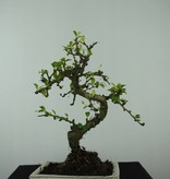 Bonsai Fukien Tea, Carmona macrophylla, no. 6560