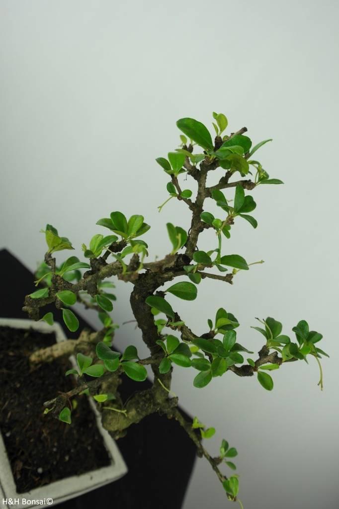 Bonsai Fukien Tea, Carmona macrophylla, no. 6561
