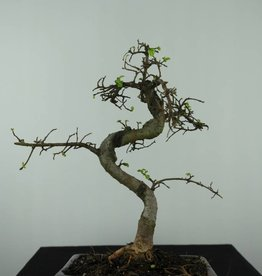 Bonsai Orme de Chine, Ulmus, no. 6582