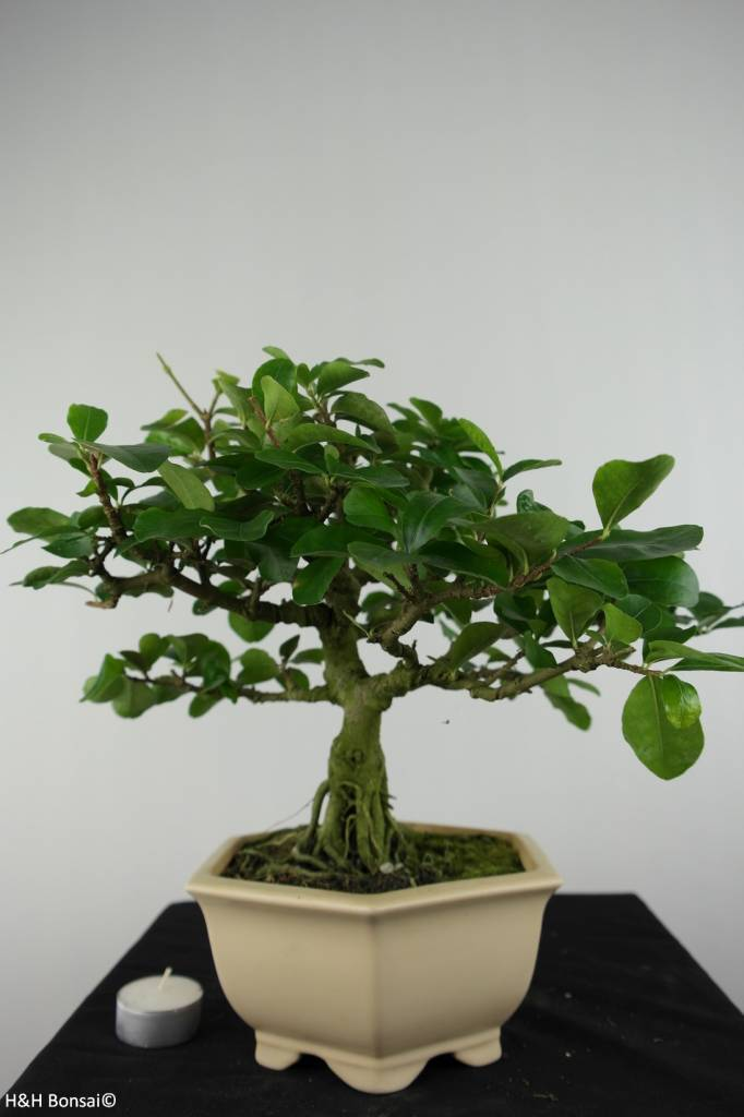 Bonsai Barbados Cherry, Malpighia glabra, no. 6624