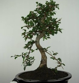 Bonsai Orme de chine, Ulmus, no. 6687