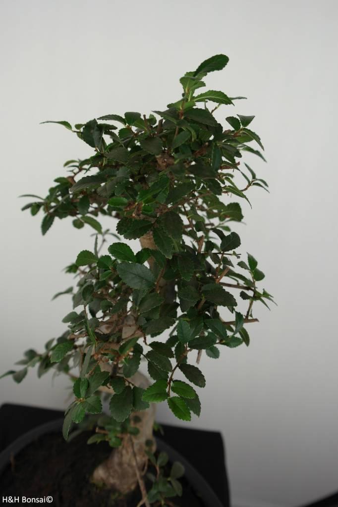 Bonsai Orme de chine, Ulmus, no. 6687
