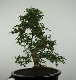 Bonsai Orme de chine, Ulmus, no. 6689