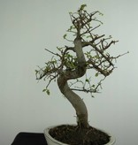 Bonsai Chinese Elm, Ulmus, no. 6708