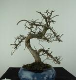 Bonsai Chinese Elm, Ulmus, no. 6758
