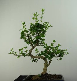 Bonsai Troène, Ligustrum nitida, no. 6836