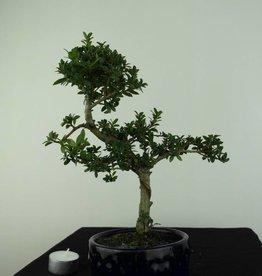 Bonsai Houx japonais, Ilexcrenata, no. 6888