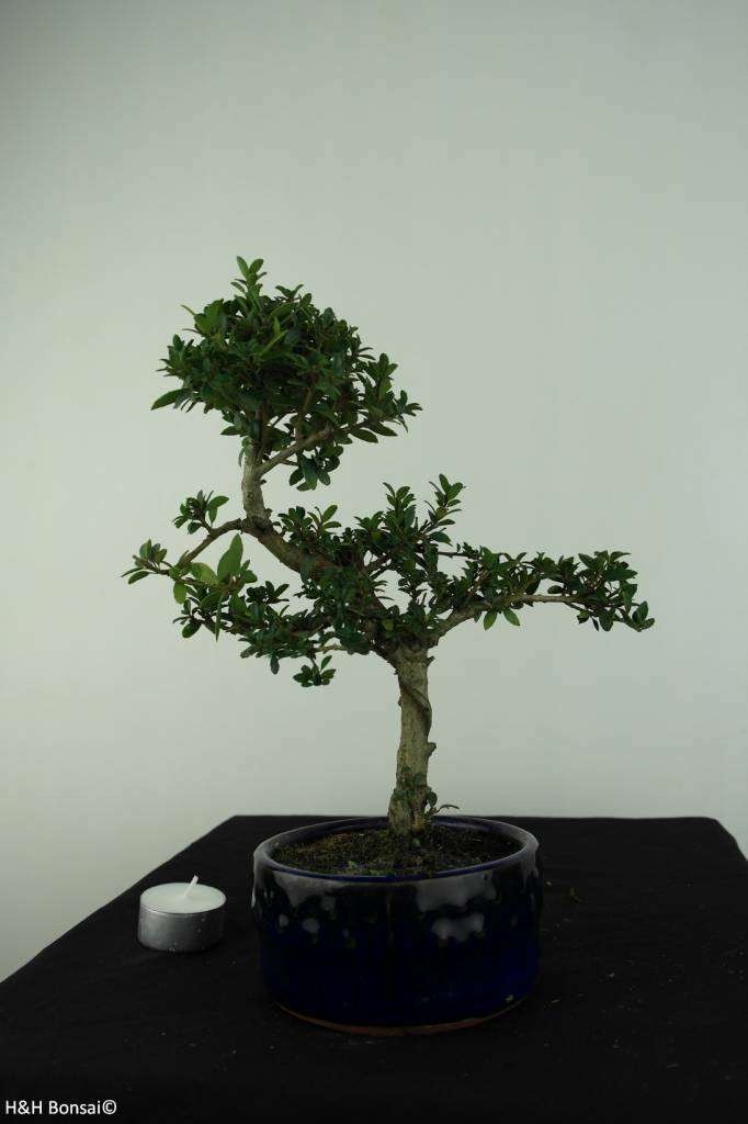 Bonsai Japanese Holly, Ilex crenata, no. 6888