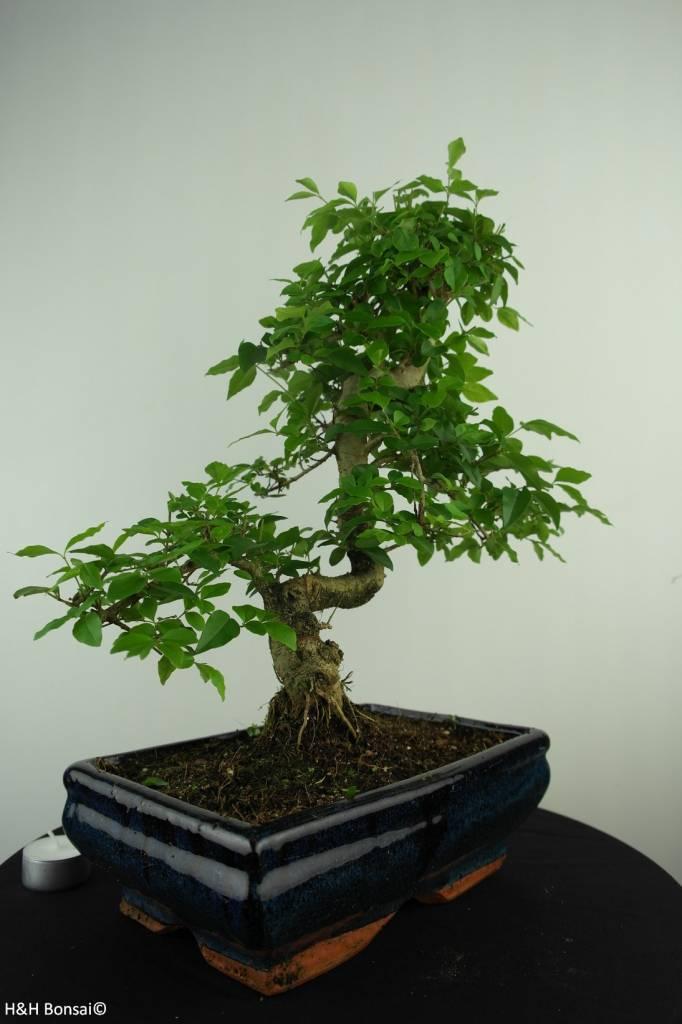 Bonsai Privet,Ligustrum nitida, no. 6991