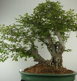 Bonsai Chinese Elm, Ulmus, no. 7009