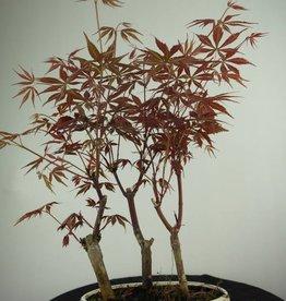 Bonsai L'Erable du Japon, Acer Palmatum, no. 7015