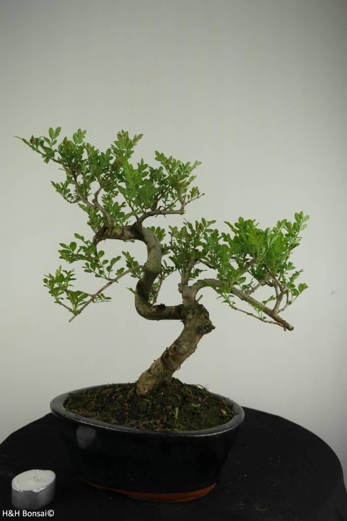 Bonsai Ash tree, Fraxinus sp., no. 6701