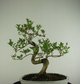 Bonsai Frêne, Fraxinus sp., no. 6729