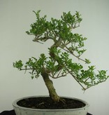 Bonsai Ash tree, Fraxinus sp., no. 6731