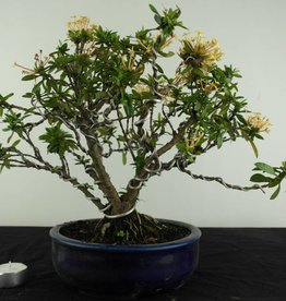 Bonsai Ixora, no. 6969