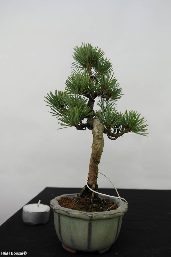 Bonsai Shohin Japanese White Pine, Pinus pentaphylla, no. 7054