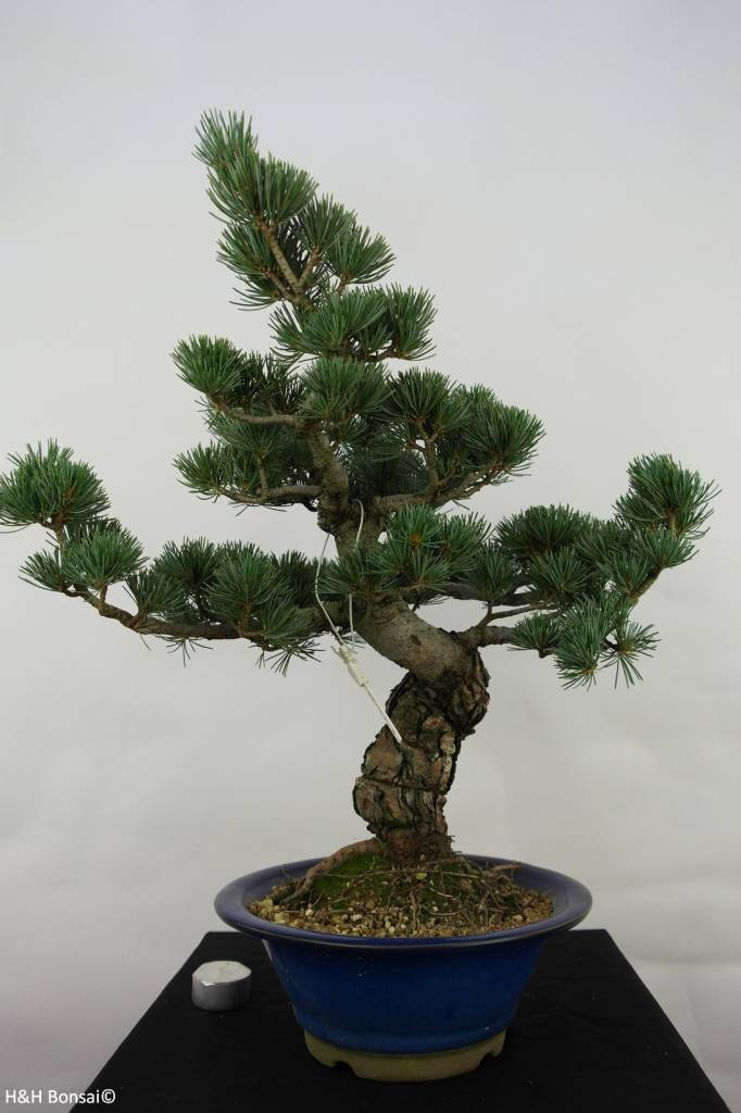 Bonsai Japanese White Pine, Pinus pentaphylla, no. 7068