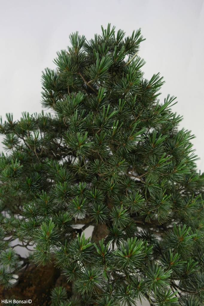 Bonsai Japanese White Pine, Pinus pentaphylla, no. 7072