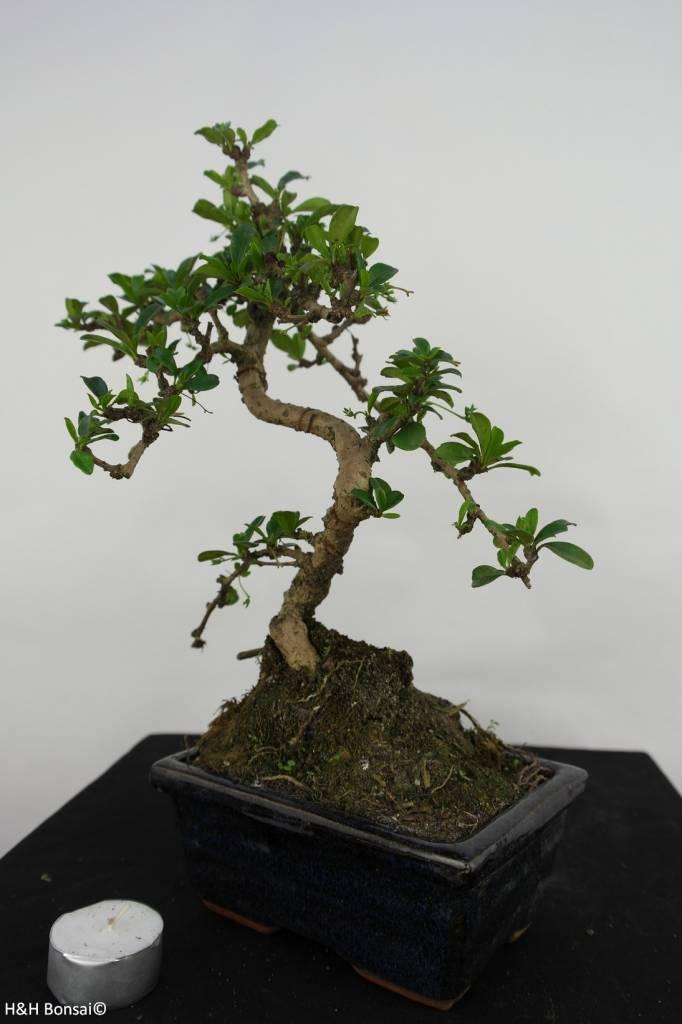Bonsai Fukien Tea,Carmona macrophylla, no. 7088