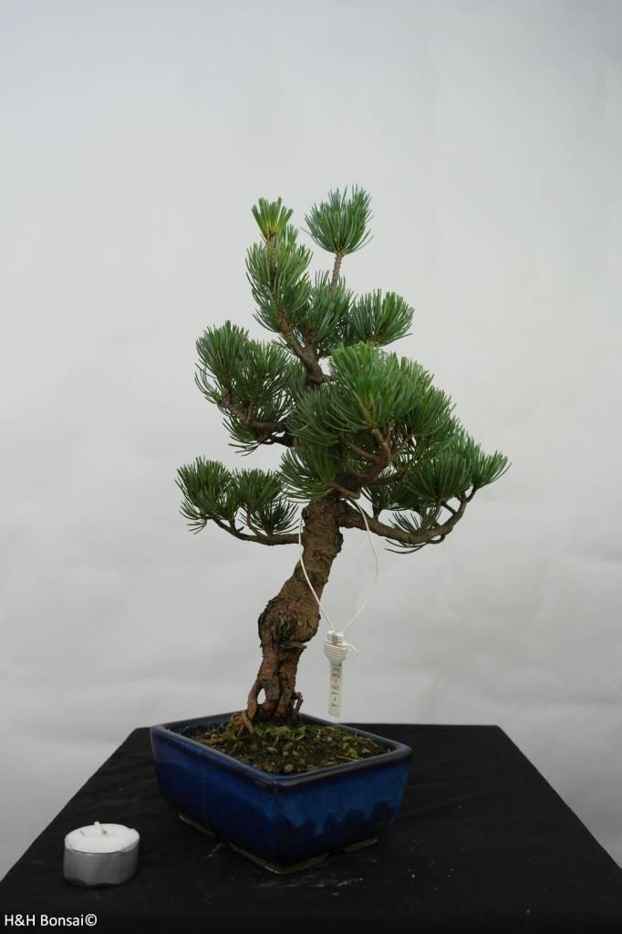 Bonsai Japanese White Pine, Pinus pentaphylla, no. 7111