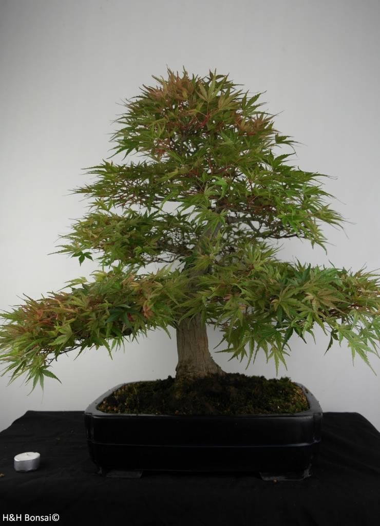 Bonsai Japanese maple Seigen, Acer palmatum Seigen, no. 7053