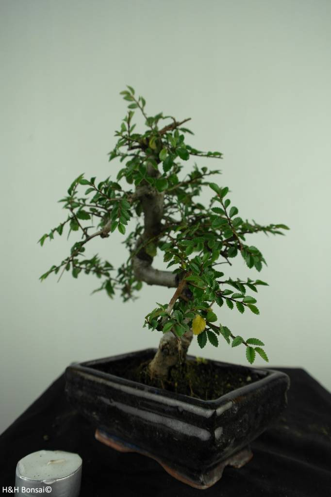 Bonsai Chinese Elm, Ulmus, no. 6587