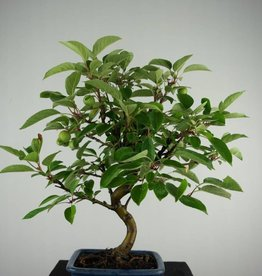 Bonsai le Pommier, Malus halliana, no. 6613