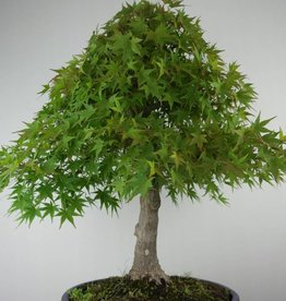 Bonsai L'Erable du Japon, Acer palmatum, no. 6784
