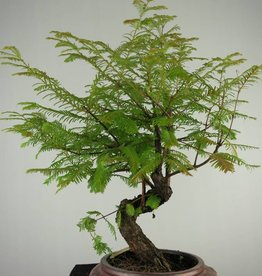 Bonsai Metasequoia, no. 6953