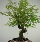 Bonsai Dawn Redwood, Metasequoia, no. 6953
