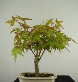 Bonsai Japanese maple, Acer Palmatum, no. 7020