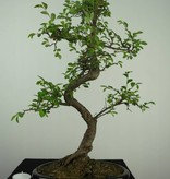 Bonsai Chinese Elm, Ulmus, no. 7126