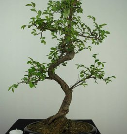 Bonsai Orme de Chine, Ulmus, no. 7126