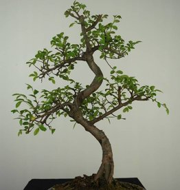 Bonsai Orme de Chine, Ulmus, no. 7127