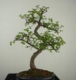 Bonsai Chinese Elm, Ulmus, no. 7127