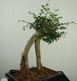 Bonsai Chinese Elm, Ulmus, no. 7149