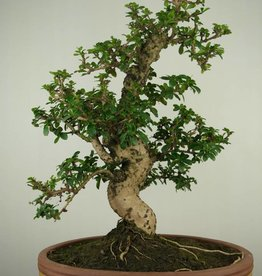 Bonsai Arbre à thé, Carmona macrophylla, no. 7159