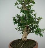 Bonsai Fukien tea, Carmona macrophylla, no. 7159