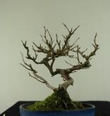 Bonsai Shohin Japanese snowbell, Styrax japonicus, no. 6961