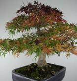 Bonsai L'Erable du Japon Seigen, Acer palmatum Seigen, no. 7053