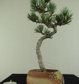 Bonsai Pin blanc du Japon, Pinus pentaphylla, no. 7063