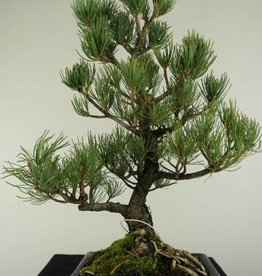 Bonsai Pin blanc du Japon, Pinus pentaphylla, no. 7074