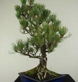 Bonsai Pin blanc du Japon,Pinus pentaphylla, no. 7074