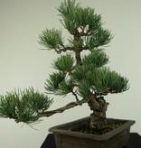 Bonsai Japanese White Pine, Pinus pentaphylla, no. 7152